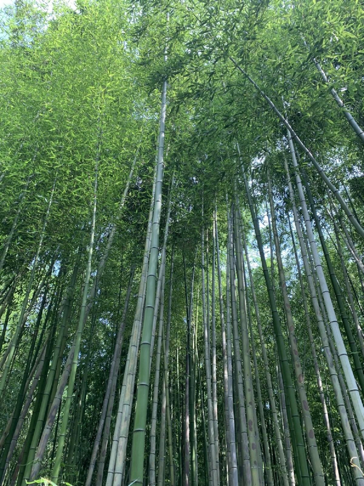 Bosque De Bambu En Kyoto Por Carmenbal Fotografia Turismo De Observacion