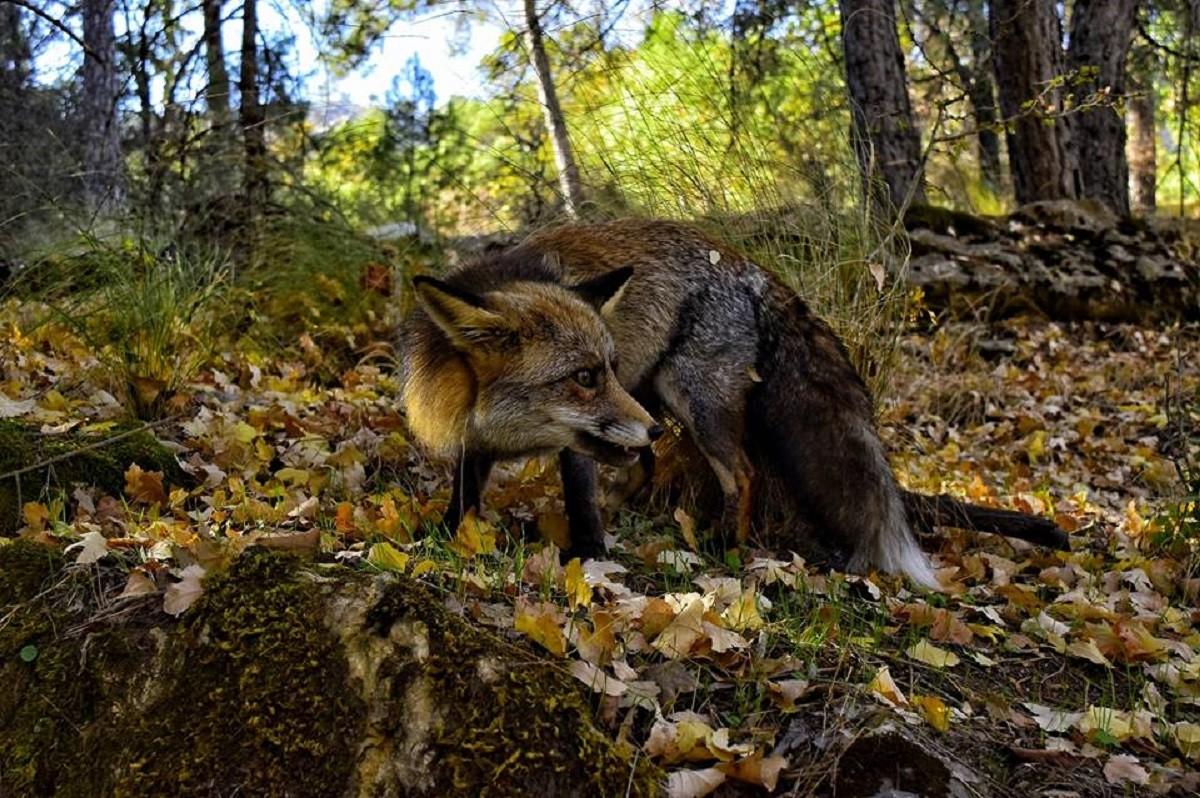 Por Sierra Morena de Córdoba en busca de indicios de lobo por ...